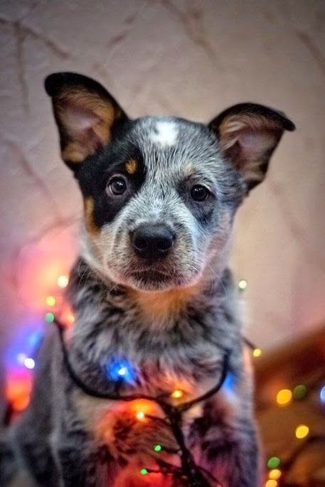 A very merry blue heeler Christmas to each of you! May you celebrate God's love each day in your heart. Thank you for so many likes and following our pins!  God Bless you and keep you! Polly, Lane and Joey Sholl owners of Cattle Dogs Rule.. were changing the world one heeler at a time with Gods Grace and blessings!