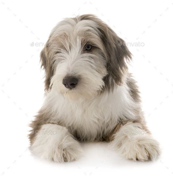 Puppy Bearded Collie By Cynoclub Puppy Bearded Collie In Front Of White Background Affiliate Collie B Bearded Collie Puppies Bearded Collie Collie Puppies