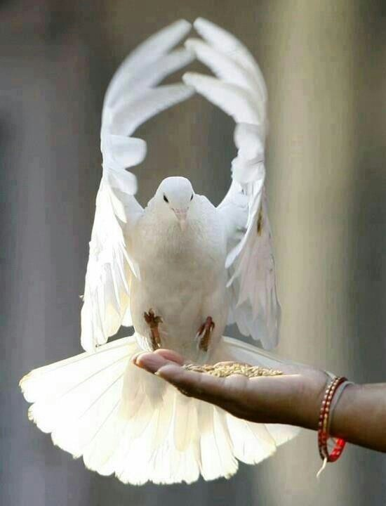 dove peace and purity • throughout time, doves have been used in ceremonies and events • doves represent eternal life, love, peace, faith, purity, happiness, and unity.