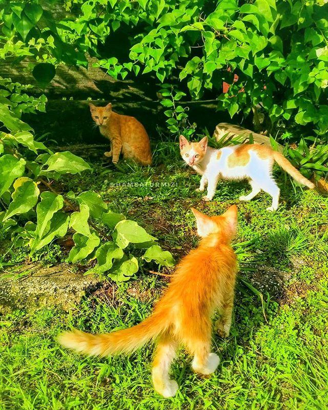 Peribahasa Kucing Duduk Seperti Kucing Melompat Seperti Harimau Makna Orang Yang Sifatnya Pendiam Tetapi Tangkas Bekerja Dan Ber Corgi Animals Instagram