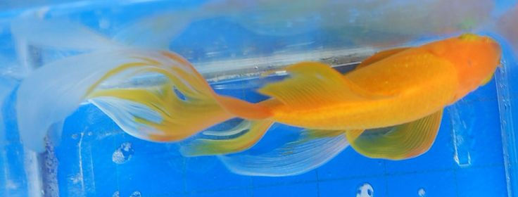 Goldfish yellow comet top view goldfish for the pond for Comet pond fish