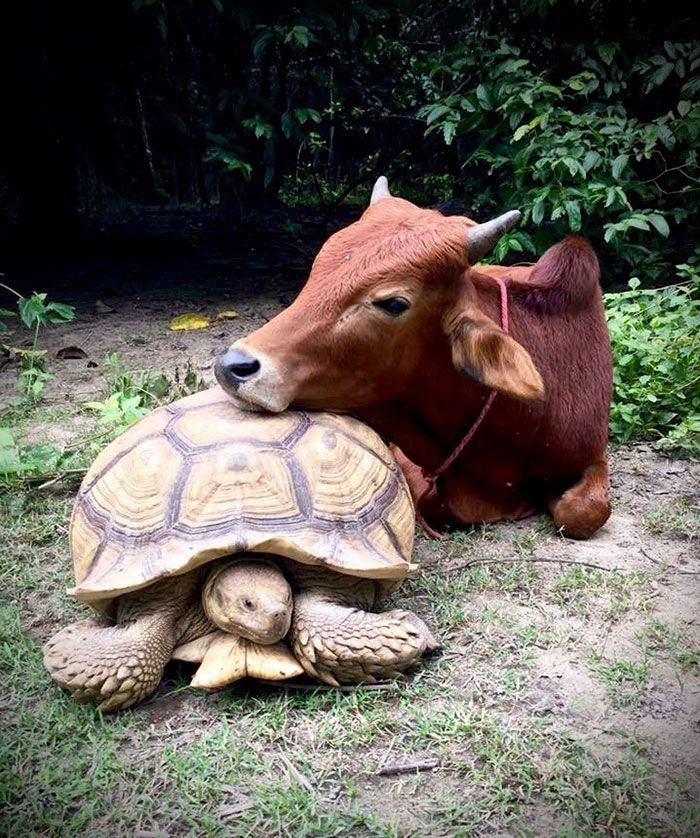 Giant Tortoise And Baby Cow Who Lost Its Leg Become Best Friends, Do Everything Together