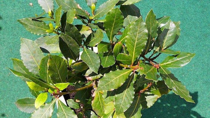 Bobkový list (Laurus nobilis) nebo také vavřín ušlechtilý pochází z Malé Asie, odkud se dostal do Středozemí. V našich podmínkách se pěstuje spíše v nádobách, protože v zimě by mohl vymrznout.
