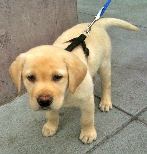 Bonus Birthday Dog: Yellow Lab Puppy! | The Dogs of San Francisco