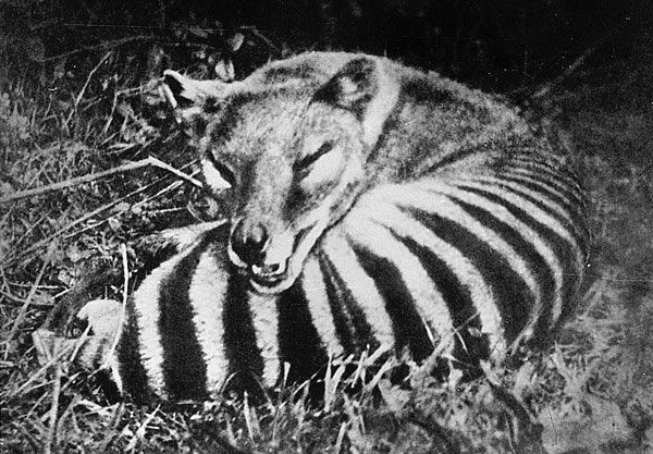 Thylacine (Thylacinus cynocephalus), extinct for 80 years: The Tasmanian tiger, Tasmanian wolf, or thylacine was the largest carnivorous marsupial on earth until the last one died in captivity in 1936.