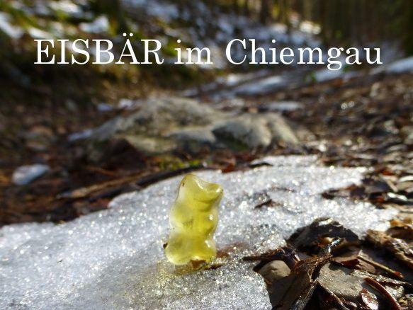 Eisbaer im Chiemgau in Bayern, Im Achental wurde ein gelber Goldbaer auf einem letzten Schneefeld gesichtet. Das hat aber für den Tourismus in der Region