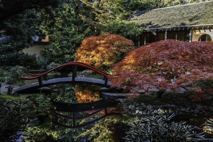 japanese maple tree two shot at sunset - Acer Japonica 'auriensis -