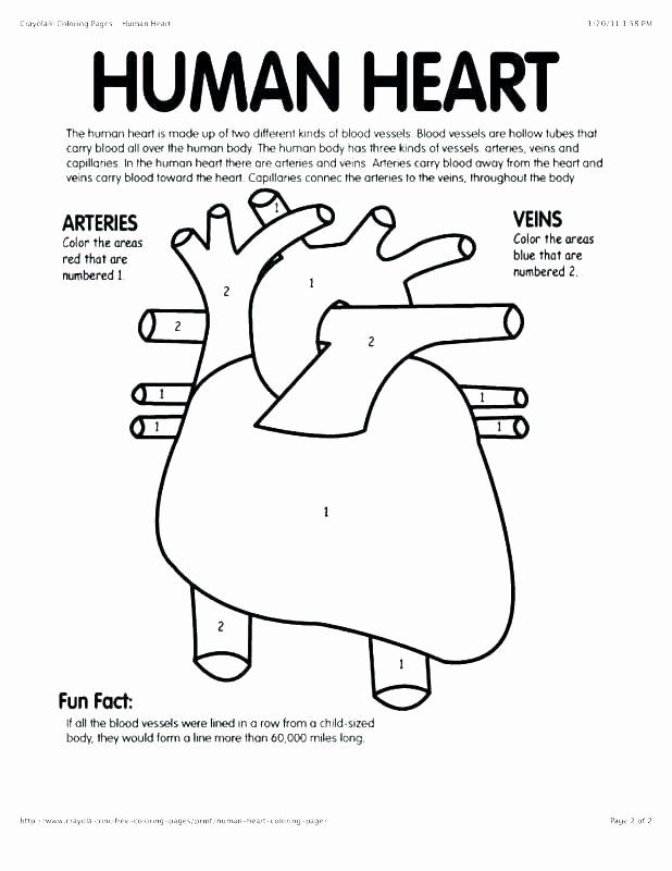 Heart Anatomy Coloring Worksheet New 76 Luxury Graphy Anatomy And Physiology Coloring Anatomi Manusia Anatomi Manusia