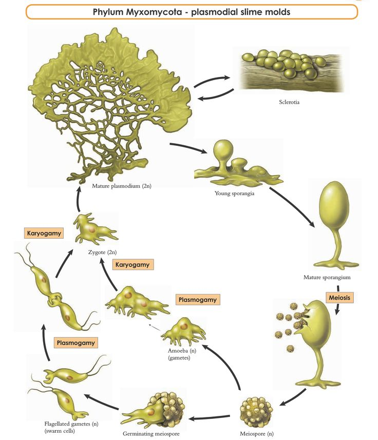 The life cycle of a plasmodial slime mold