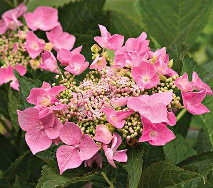 NEW! Hydrangea macrophylla Let's Dance® Starlight - White Flower Farm