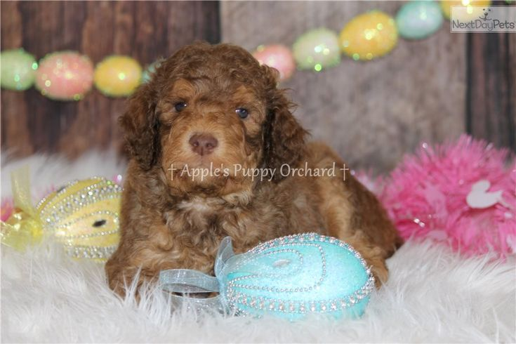 Reesie Poodle Standard Puppy For Sale Near Dallas Fort Worth