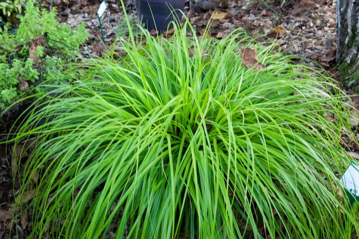 Carex 'Everillo' - 50cm (evergreen)