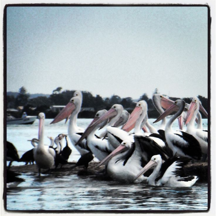 Pelican Family at Forster NSW