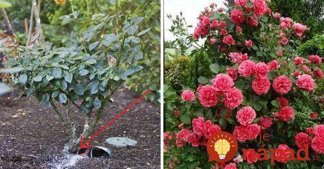 Ako mať tie najkrajšie ruže na celej ulici? Skúsená pestovateľka odporúča vyskúšať silu tejto suroviny, funguje perfektne!