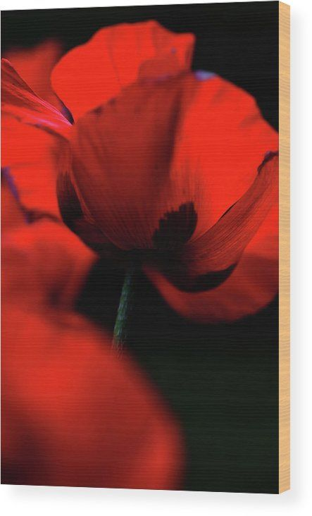 Jenny Rainbow Fine Art Photography Wood Print featuring the photograph Flaming Red Poppies by Jenny Rainbow