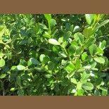 Buxus microphylla japonica