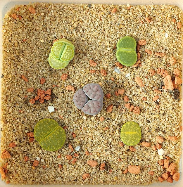 Living Stones—Growing Living Stones Plants: A collection of Lithops living stones. These plants developed their unique growth habit as a way to fool thirsty animals in their arid native habitats.