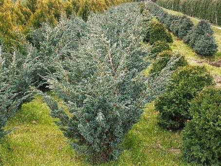 Juniperus squamata Meyeri. Aukštis apie 1m., plotis apie 60cm.