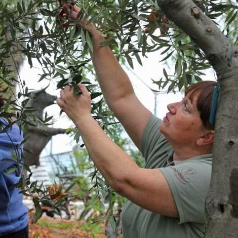 Ladies pruning olive trees in the Mediterranean Biomes