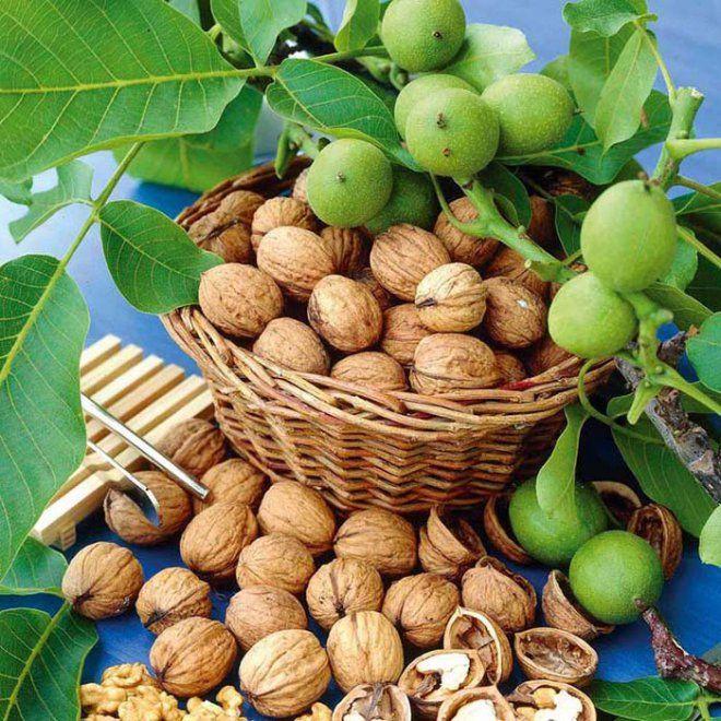 Целебная сила грецкого ореха — 20 рецептов народной медицины