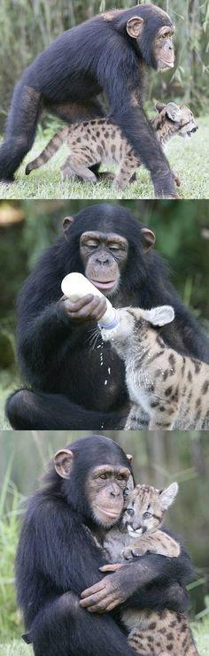 Un chimpanzé donne le biberon et s'occupe d'un bébé puma.
