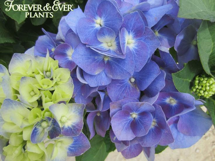 forever ever blue heaven hydrangea forever ever. Black Bedroom Furniture Sets. Home Design Ideas
