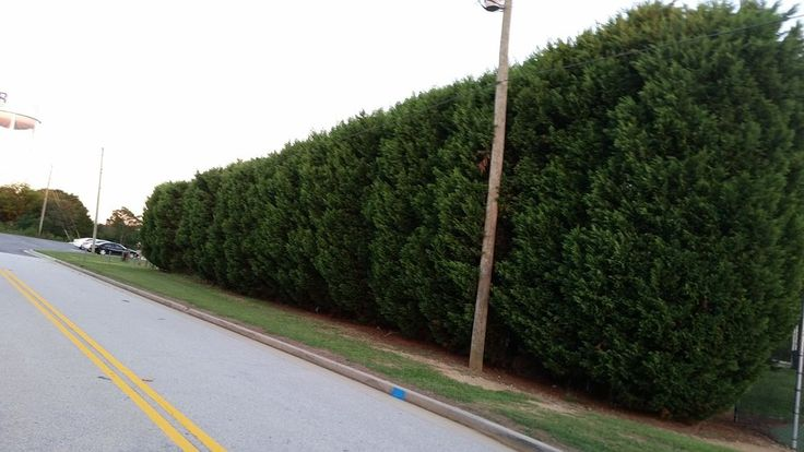 """10 Plants of Thuja Green Giant Nature's Live Tree Fence 10""""-12"""" Outdoor Garden"""