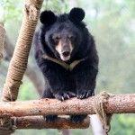 Asian Black Bear