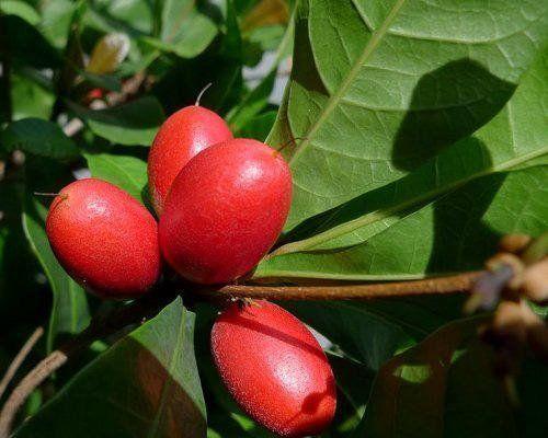 Fructe de care cel mai probabil nu ai auzit. Stiai de rambutan sau de fructele de jabuticaba? daca consumi un fruct-miracol inainte de unul acru - cel acru ti se va parea tot dulce. Si asta deoarece contine o substanta numita miraculina, care modifica perceptia gustului.