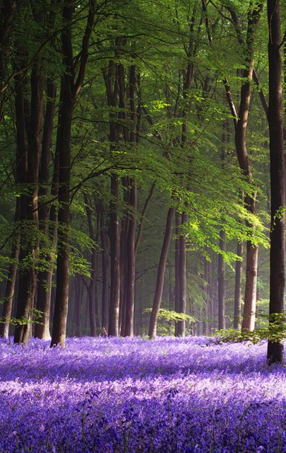 Druids Trees:  Wildflowers on the forest floor. Bluebelle Spring, Micheldever Wood, Hampshire, England. Photo by Barry Wakelin.