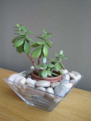 Cute idea for DIY jade tree plant arrangement. Very easy all you need is a glass bowl , plant and rocks!