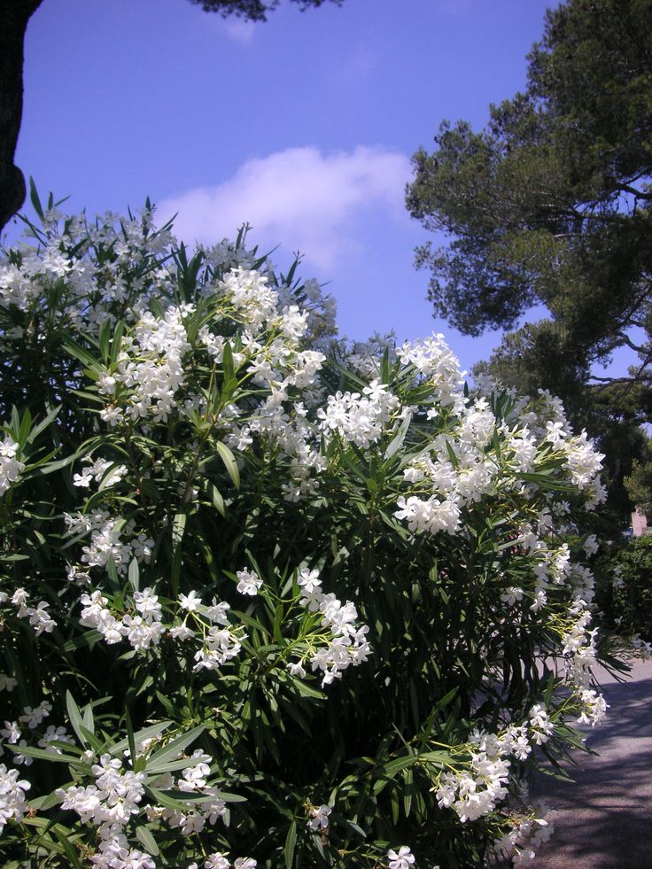 Oleander-want some along the side fence for privacy.