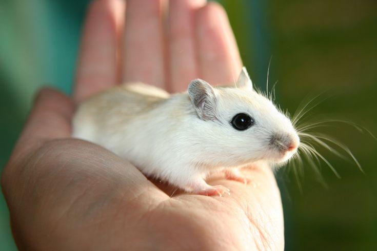 Bílá myška jako dárek pro malé chovatele