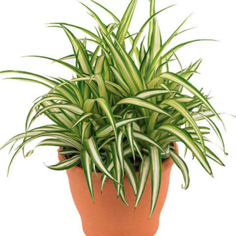 Essas plantas ajudam a diminuir a toxidade do ar. E o melhor se adaptam bem sem exposição ao sol.