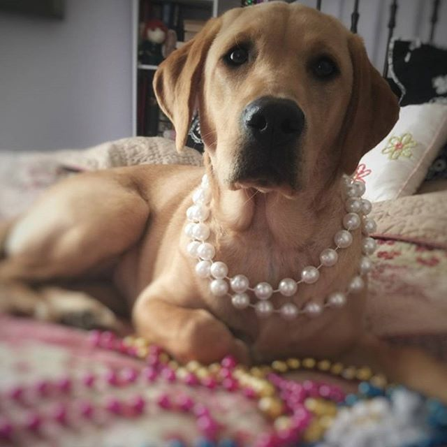 Ready for my saturday night out. 📷 credits by @godfrey_girls #labrador