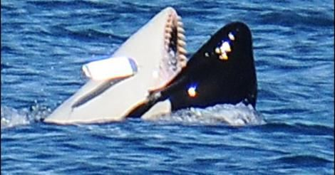 J39 Mako with a salmon lure lodged in his mouth.
