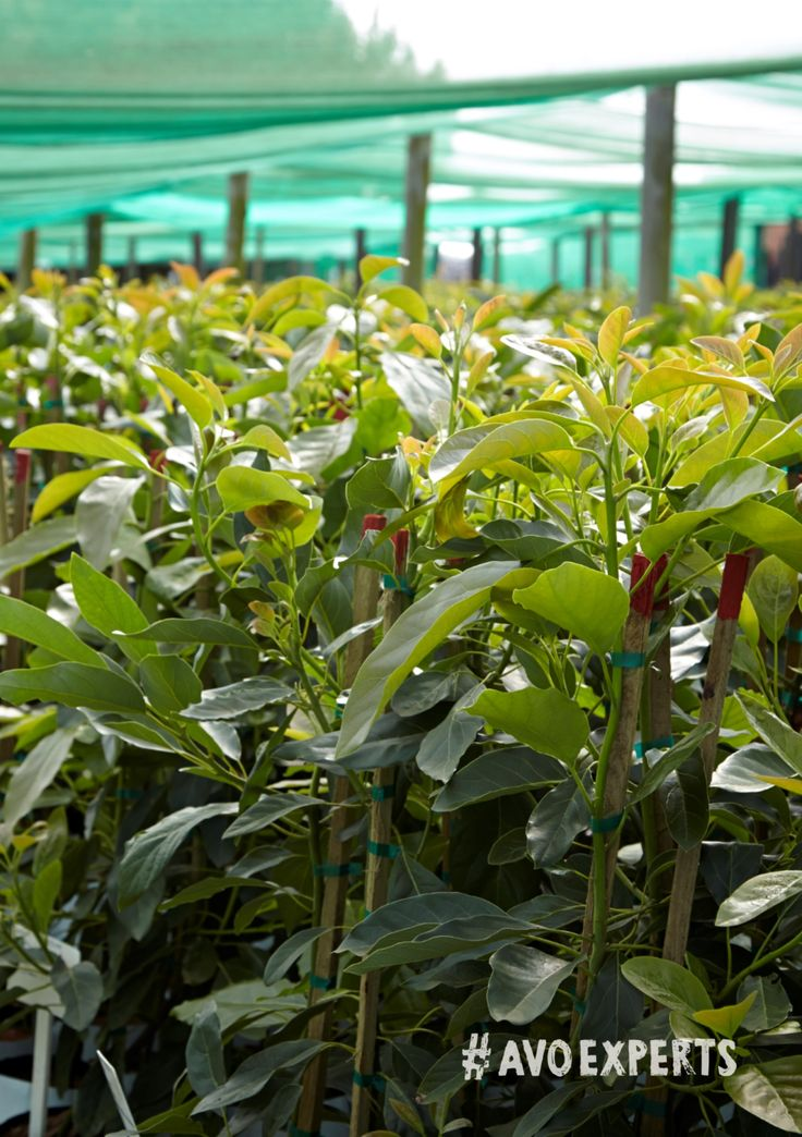 One of Westfalia's nurseries is situated on Westfalia Fruit Estate, between Modjadjiskloof and Tzaneen in the Limpopo Province of South Africa