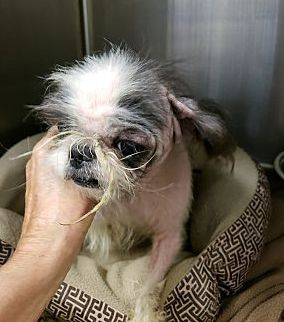 Urgent Neglected Little Guy My Name Is Yumi 5 Yrs Old Male He Came In With Nico Who Is Older Than Him We Think Th Adopt Please Adopt Me Ii Shih