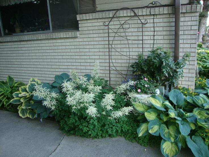 Shade Plants   Hostas, White Plumes Of The Aruncus (goatsbeard)