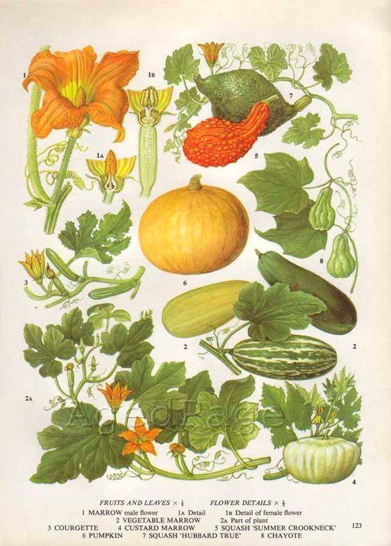 Vintage Botanical Print, Food Plant Chart, Art Illustration, Wall Decor…