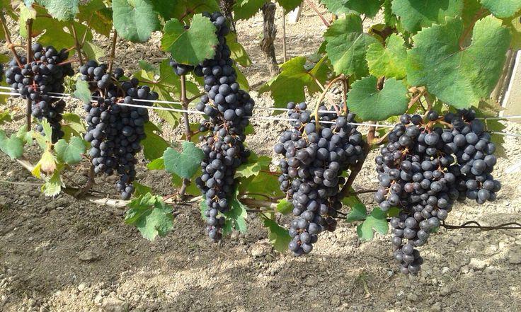 Graspi rossi, grappoli belli uniformi, acini di colore nero-bluastro: ecco la nostra uva ormeasco che matura...e come matura bene! E' quasi ora di diradare nuovamente.
