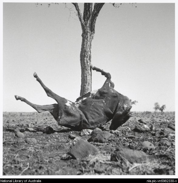 Nolan, Sidney, Sir, 1917-1992. Dried carcass of a cow at the foot of a tree, Queensland, 1952 [picture]