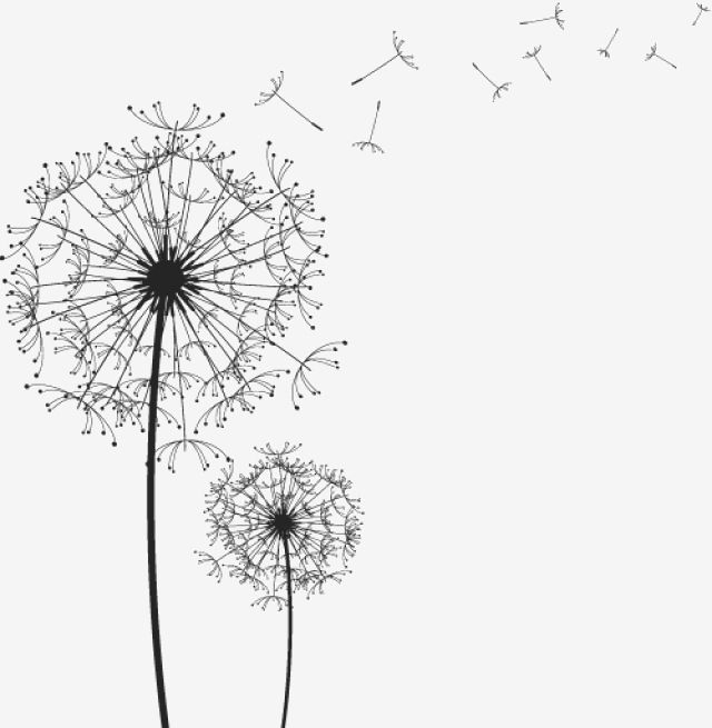 Black Drawing Vector Dandelion Black And White Line Drawing Dandelion Vector Png Transparent Clipart Image And Psd File For Free Download Black And White Art Drawing Black And White Flowers Dandelion
