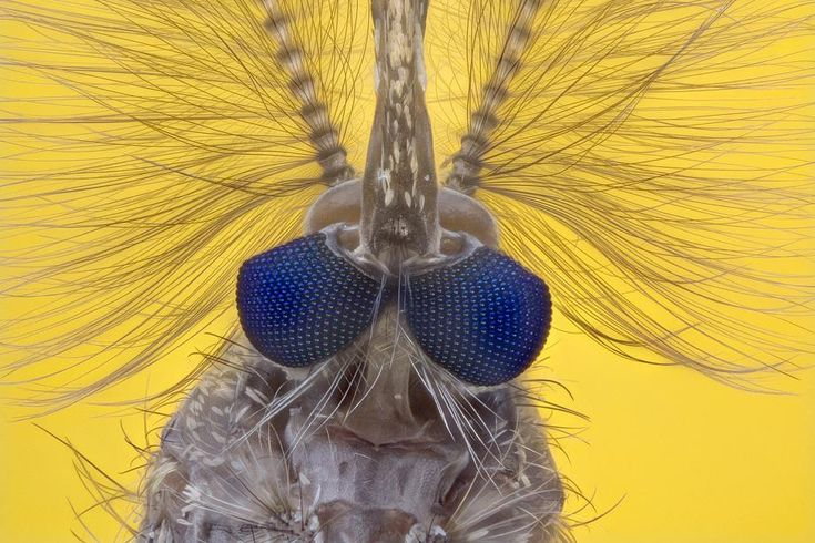 microphotography: Male mosquito 10x by David Maitland