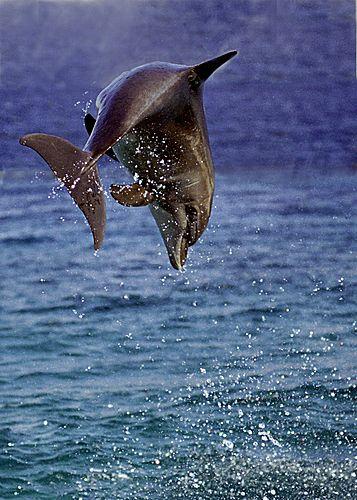 Dolphin - Eilat, Israel