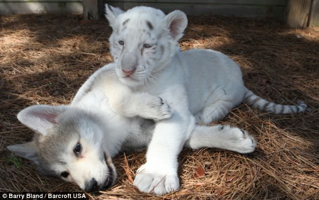 white tiger cub and wolf pup