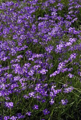 Dampiera trigona aka Angled Stem Dampiera (Bassendean swamps) Size 0.3m Colour blue Flowers September – January Best seasons Spring, Winter Description Slender perennial herb to 0.5 metres high. Occurs on winter wet flats and roadsides. Blue flowers spring to summer.