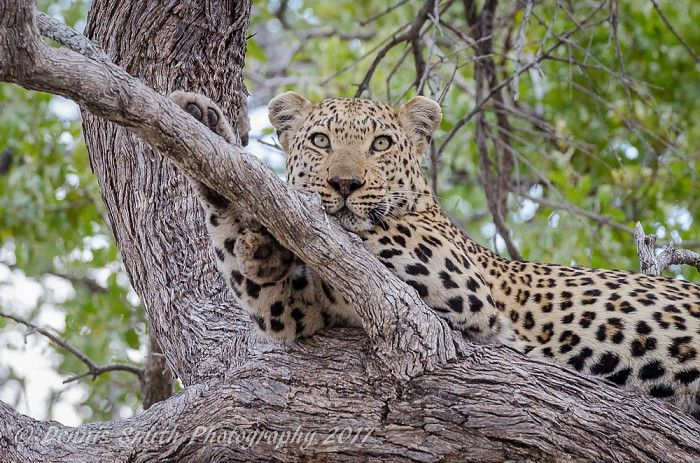 Great sightings of leopard around Kwetsani Camp #Okavango #safari