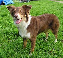 Un pastor australiano de las líneas de trabajo; primeros criadores eligieron los perros por sus habilidades en lugar de conformación.