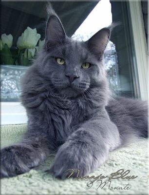 Maine Coon Cat .... Langstteich's Navajo Blue